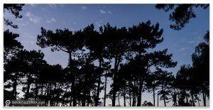Piñeiros de Galicia, Comprar fotografía Galicia Piñeiros Posta de Sol Natureza Galega Decoración Paisaxes